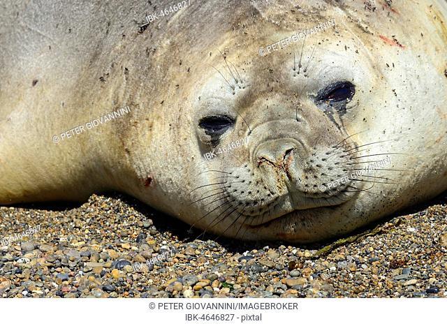 Southern elephant seal (Mirounga leonina), animal portrait, Isla Escondida, Chubut, Argentina