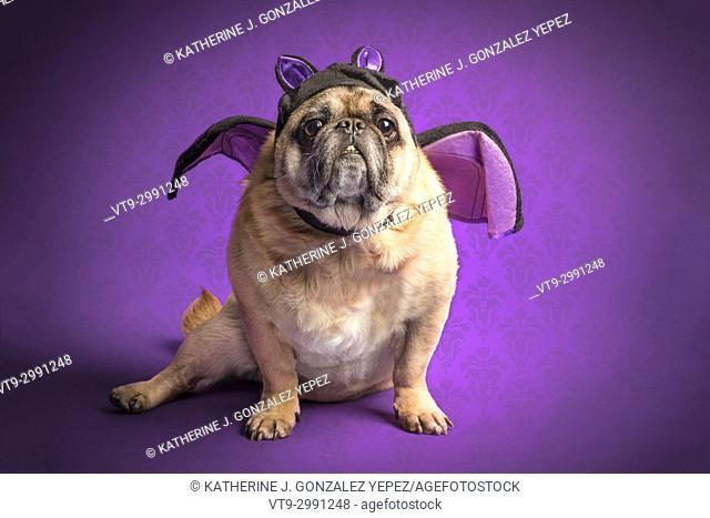 Pug dog dress up as a bat for Halloween
