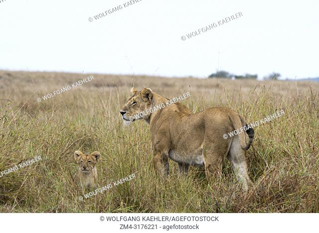 A lioness (Panthera leo) with a cub in the high grass in the Masai Mara National Reserve in Kenya