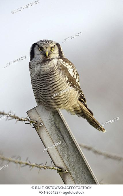 Northern Hawk Owl ( Surnia ulula ), rare winter guest in Western Europe, perched on a fence pole in front of clean background