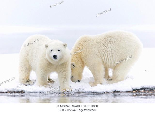 United States,Alaska,Arctic National Wildlife Refuge,Kaktovik,Polar Bear( Ursus maritimus),yearlings along a barrier island outside Kaktovik,Alaska,Every fall
