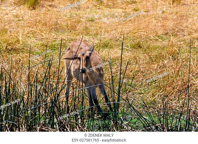 female of antelope lechwe (Kobus leche), or southern lechwe, Caprivi strip game park, Nambwa Namibia, Africa safari wildlife and wilderness