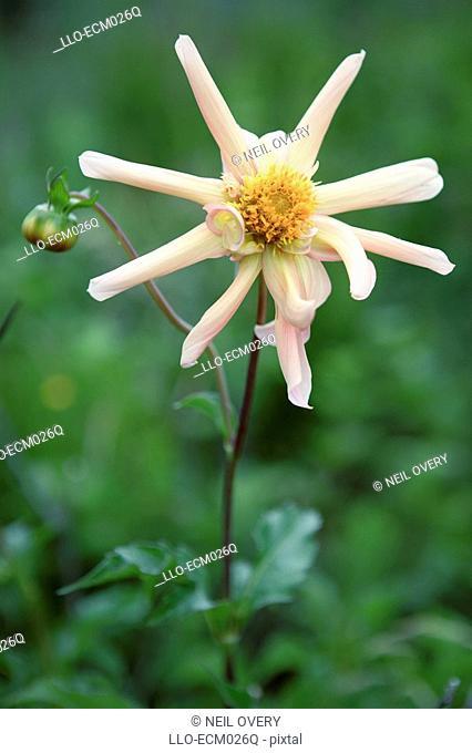 Portrait of a Dahlia Flower Dahlia Pinnata Hybrid  Hogsback, Eastern Cape Province, South Africa
