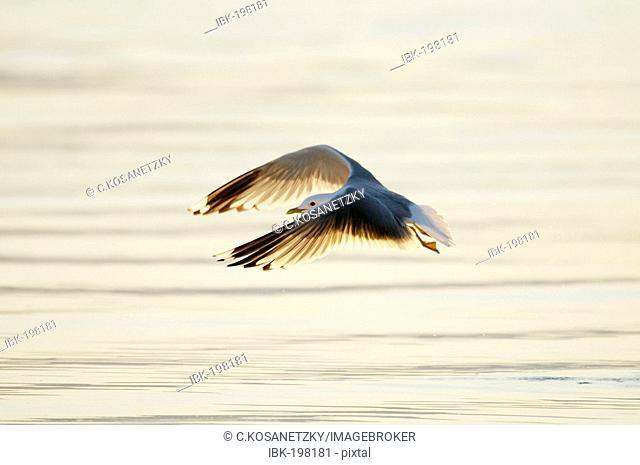 Commun gull (Larus canus)