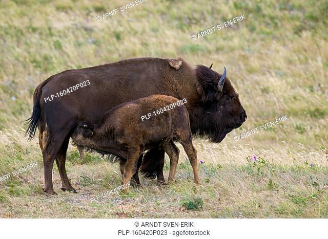American bison / American buffalo (Bison bison) cow suckling calf in summer, Waterton Lakes National Park, Alberta, Canada
