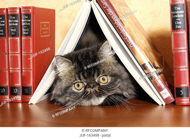 young Persian cat under book
