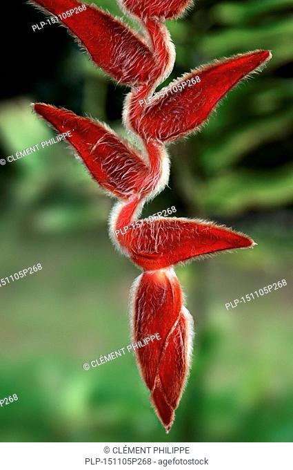 Heliconia vellerigera in flower, native to Colombia, Ecuador, Peru and Costa Rica