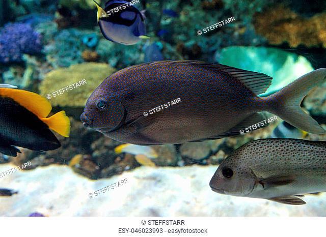 Yellowspot rabbitfish Siganus guttatus swims across a coral reef