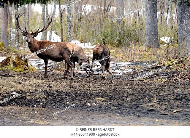Cerviden, Cervus elaphus, local game, free living person animals, feeding, antlers, antler bearer, deer, deer, hoofed animals, fighting red deer, red deer