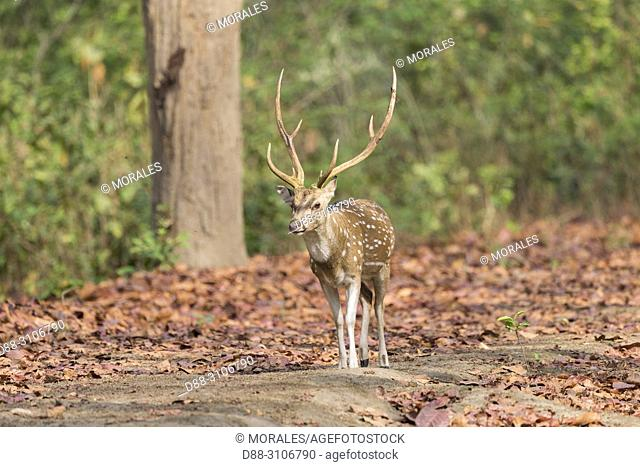 Asia, India, Uttarakhand, Jim Corbett National Park, Chital or Cheetal or Chital deer, Spotted deer or Axis deer( Axis axis), adult male
