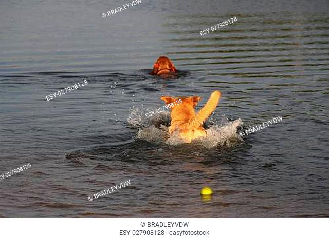 Cross breed dog swims after a Cocker Spaniel, leaving a tennis ball behind