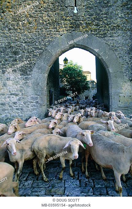 France, Aveyron, sheep herd, Lacaune-Schafe