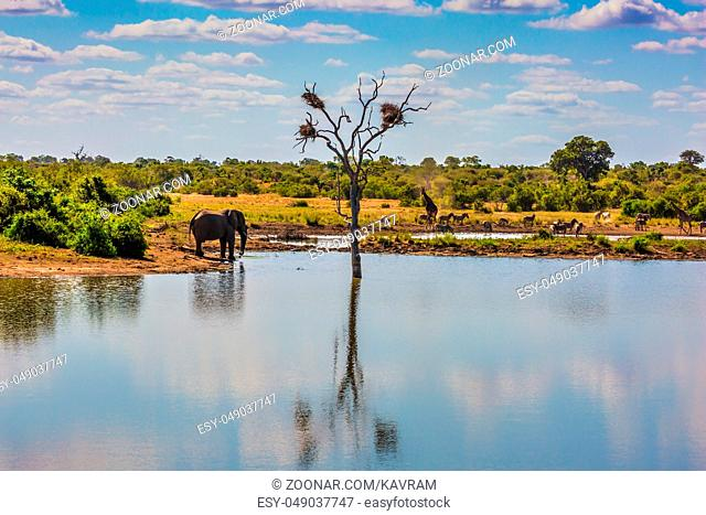Small lake, to which the animals go to drink. Elephant, herd of zebras and a few giraffes. In the water, resting hippos. Animals in South Africa