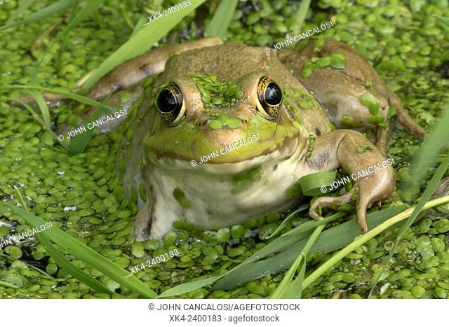 Green frog, Lithobates clamitans, District of Columbia