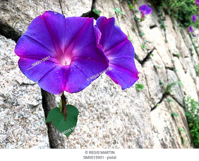 Morning Glory flowers against a stone wall