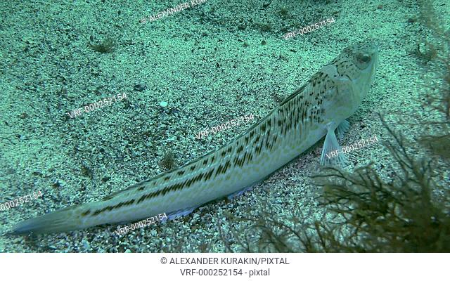 Greater weever (Trachinus draco) lies on the bottom, then buries itself in the sand, medium shot. Black Sea. Ukraine