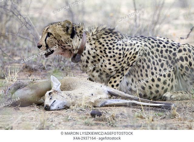 Cheetah and her prey, Okonjima Plains, Namibia