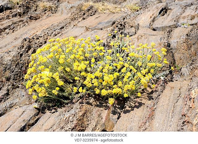 Perpetual, perennial or everlasting (Helichrysum stoechas) is an evergreen shrub native to southern Europe, specially in Iberian Peninsula