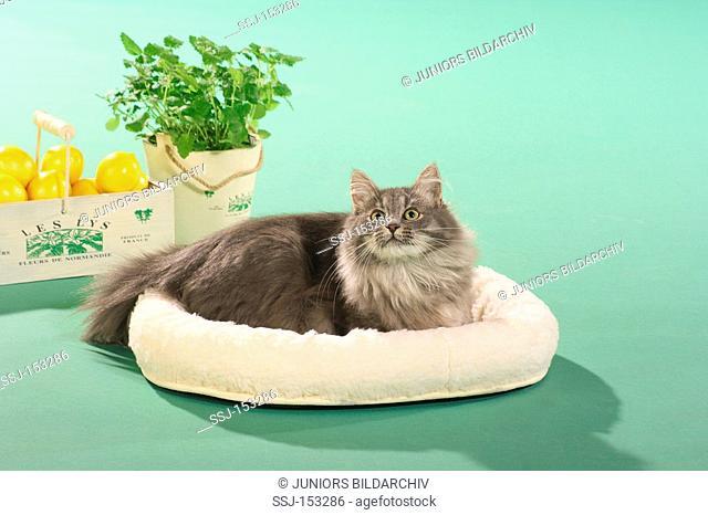 Norwegian Forest cat - lying in basket