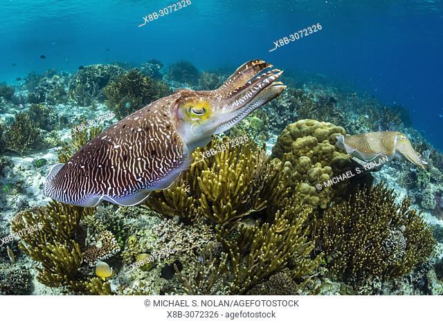 Adult broadclub cuttlefish, Sepia latimanus, courtship display, Sebayur Island, Flores Sea, Indonesia