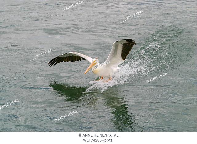 American White Pelican landing on water, Alberta, Canada