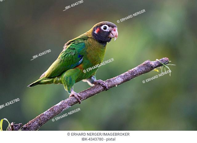 Brown-hooded Parrot (Pyrilia haematotis) perched on a tree branch, male, Heredia Province, Costa Rica
