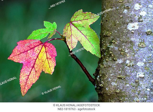 The colorful leaves of the American sweetgum or Red gum Liquidambar styraciflua in autumn - Bavaria/Germany
