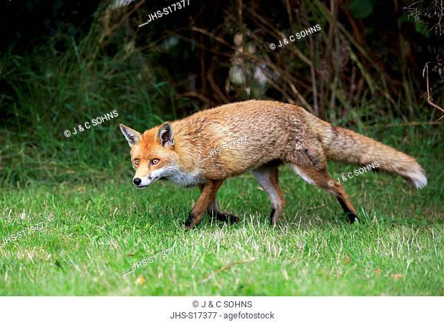 Red Fox, (Vulpes vulpes), adult alert, Surrey, England, Europe