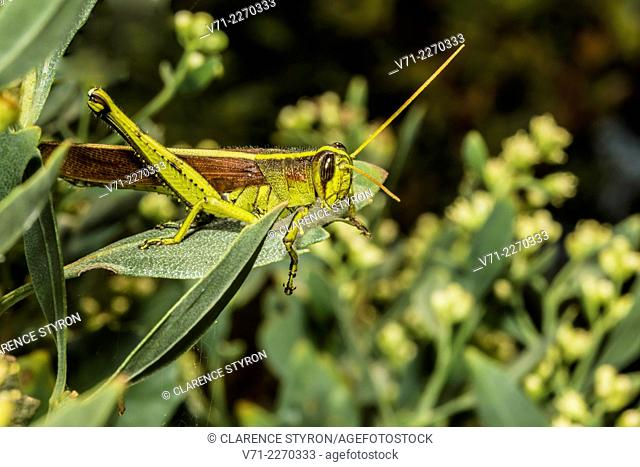 Leather-colored Bird Grasshopper (Schistocerca alutacea) Hunting on Asian Meadowsweet (Spiraea trilobata var. trilobata)