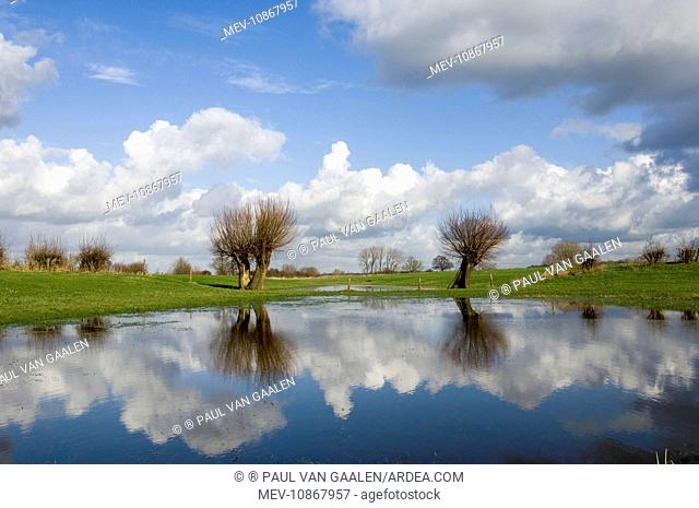 Pollard willow (Salix alba). Reflections in the flooded forelands of the river IJssel, The Netherlands, in early spring