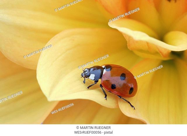 Seven-spotted ladybird Coccinella septempunctata on flower