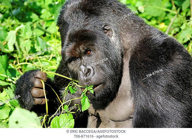 Male silverback mountain gorilla eating leaves (Gorilla beringei beringei) Virunga National Park, Democratic Republic of Congo, Africa