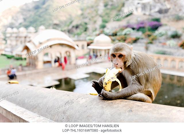 A Rhesus Macaque monkey eating a banana at Galta also referred to as The Monkey Temple in Jaipur