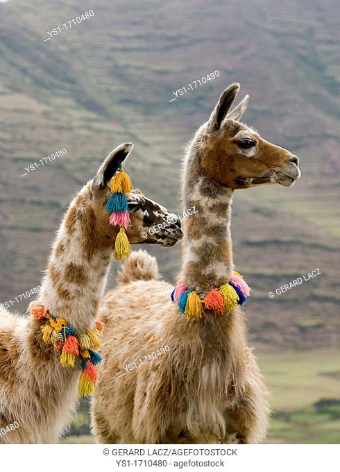 Llama, lama glama, Adults wearing Pompoms, near Cuzco in Peru