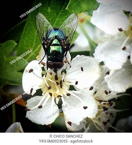 A green fly eats nectar in a white flower in Prado del Rey, Sierra de Cadiz, Andalusia, Spain
