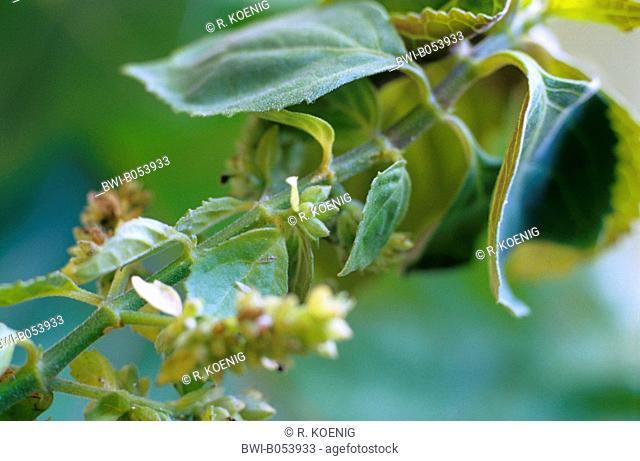 patchouli (Pogostemon cablin), branch
