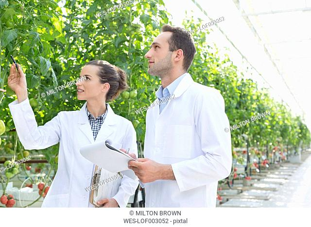 Two scientists in greenhouse examining tomato plant