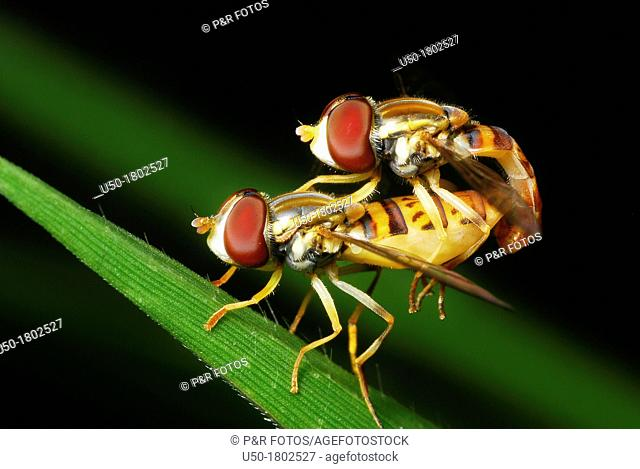 Couple of Flower Fly, Syrphus sp , Syrphidae, Diptera  2012