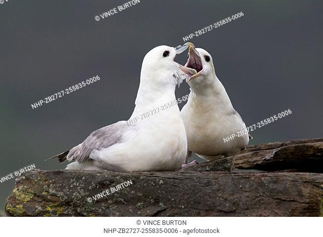 Fulmer, Fulmarus glacialis pair greeting