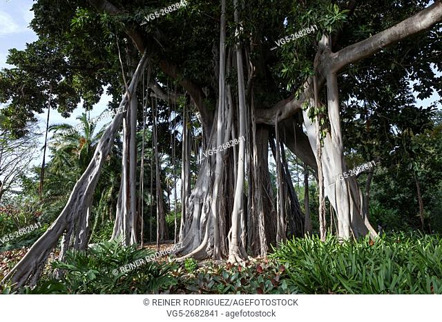 Ficus tree. gPlant in a park in Puerto de la Cruz. Northern Tenerife, Canary Islands, Spain