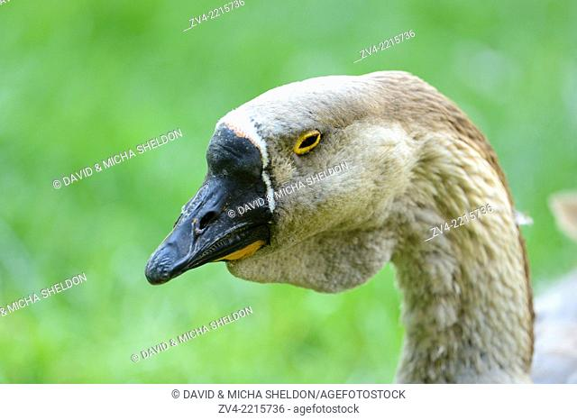 Portrait of a Chinese goose in spring
