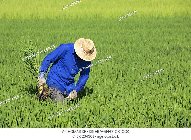Weeding the rice fields (Oryza sativa) is a manual work. In July. Environs of the Ebro Delta Nature Reserve, Tarragona province, Catalonia, Spain