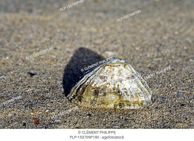 Common limpet / common European limpet (Patella vulgata) washed ashore on beach