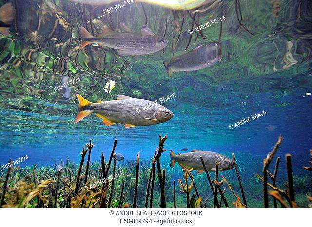 Characins or piraputangas, Brycon hilarii, swim by Baia Bonita river, Aquario Natural, Bonito, Mato Grosso do Sul, Brazil