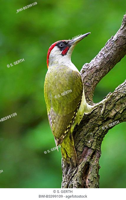 green woodpecker (Picus viridis), sits on an old tree trunk, Switzerland, Sankt Gallen