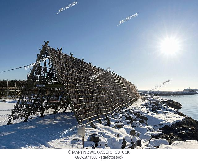 Cod on drying rack to produce stockfish, near the harbour in the town of Svolvaer , island Austvagoya. The Lofoten islands in northern Norway during winter