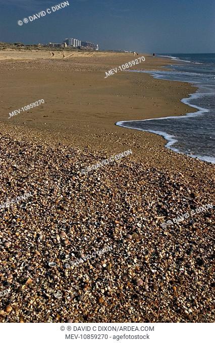 SHELLS - mass on beach. Thousands of mollusc shells are cast-up by waveseach day. Punta Umbria, Province of Huelva, Spain. Spain's Atlantic coast