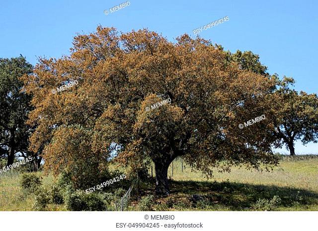 View of quercus ilex tree landscape in Alentejo