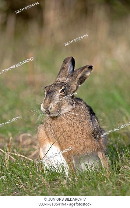 European Brown Hare (Lepus europaeus). Adult eating its own feces pellet feces to extract further nutrients, coprophagy. Germany