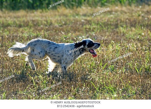 English Setter - running Canis familiaris